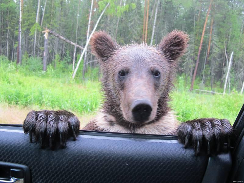 Медведи на Онежском полуострове вышли на фотосессию