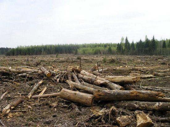 Архангельск. Незаконная рубка лесных насаждений