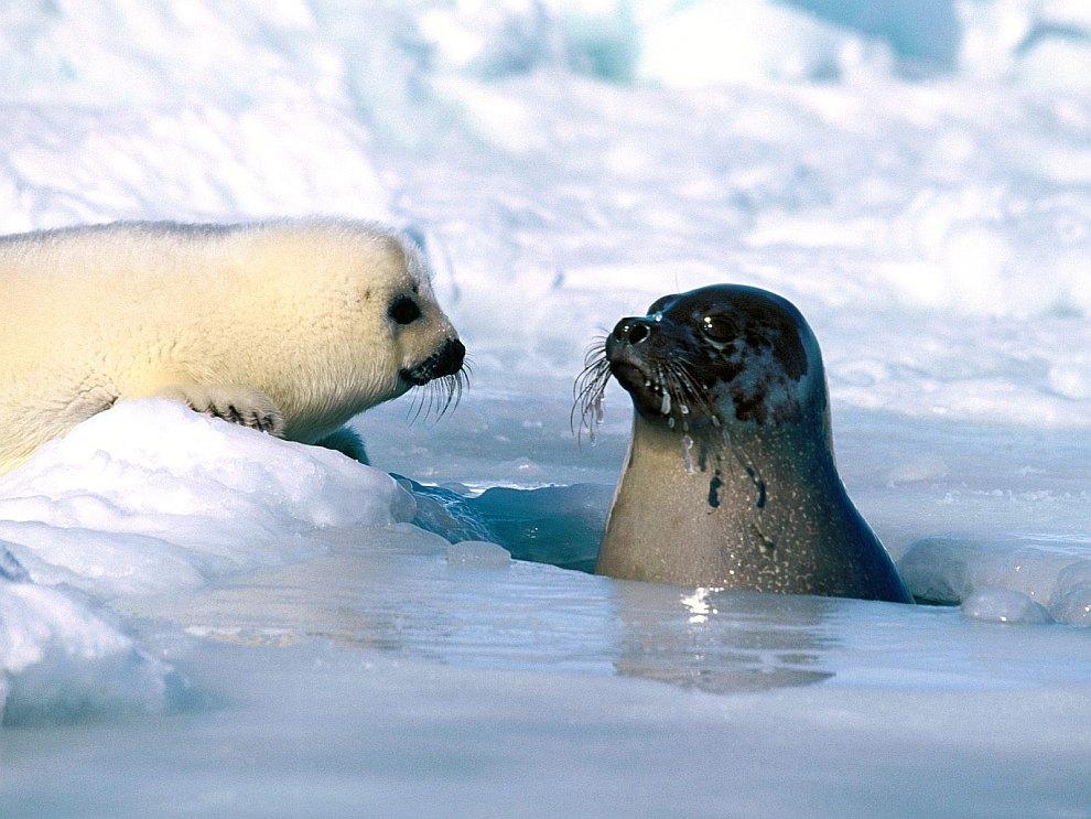 Северодвинск. Тюлень просто хотел переобуться