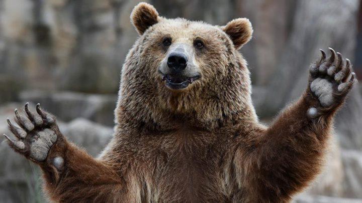 Охотники приступили к отлову медведя.. спустя 5 дней