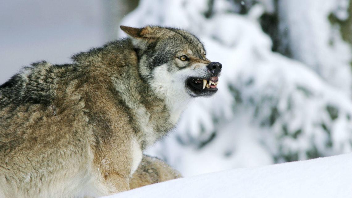 Волки стали заходить в дома и нападать на людей