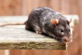 Крысы бегают на 9 этаже по вентиляции. Архангельск